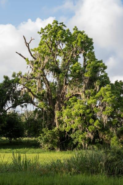Live Oak Tree & Slough, Damon, Texas