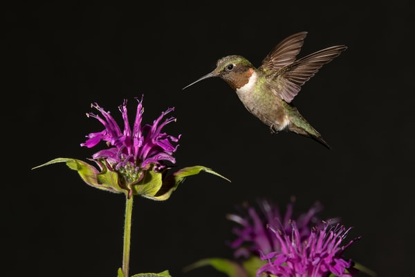 Ruby Throated Hummingbird With Bee Balm Flowers Photography Art   Cuda Nature Art