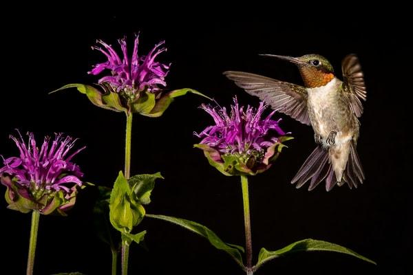 Ruby Throated Hummingbird With Bee Balm Photography Art   Cuda Nature Art