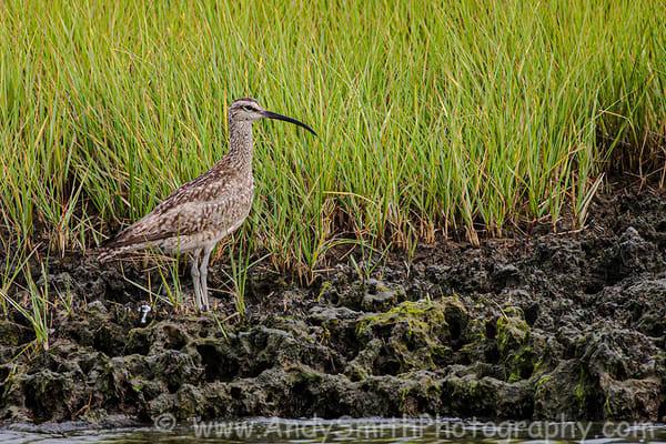Fine Art Photographs of Shorebirds