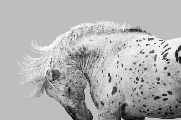 #53 Wild Leopard Appalossa Stallion Art   Living Images by Carol Walker, LLC