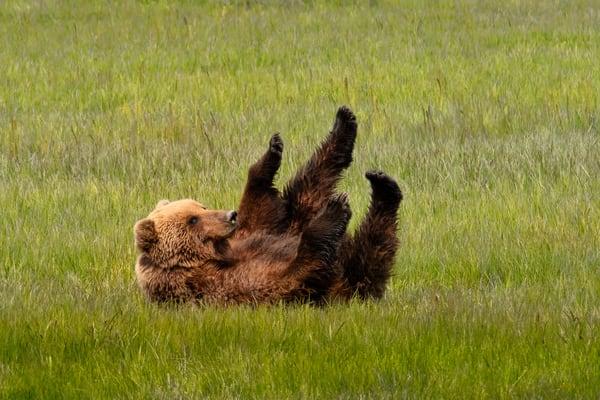 A'rollin   Coastal Brown Bear   6533 Photography Art | Koral Martin Fine Art Photography