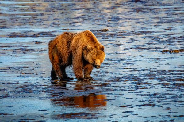 Clamming On The Coast   Coastal Brown Bear With Reflection 6932 F Photography Art | Koral Martin Fine Art Photography