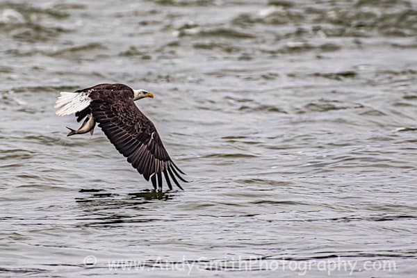 Fourth Year Juvenile Bald Eagle with Fish
