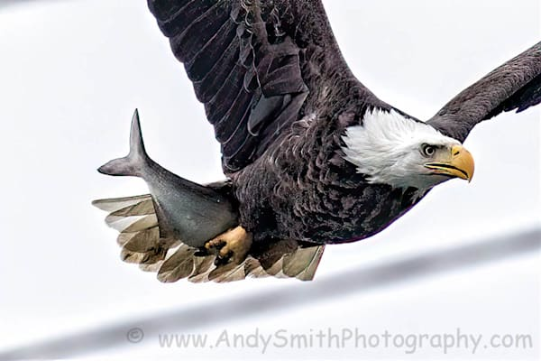Closeup of Bald Eagle in Flight with Large Fish