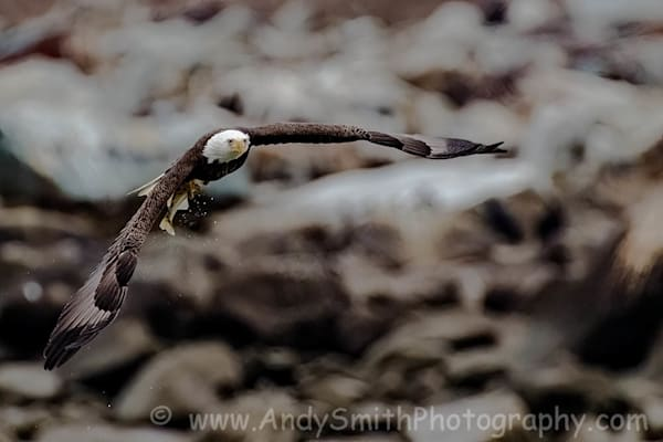 Bald Eagle Wingspread with Fish