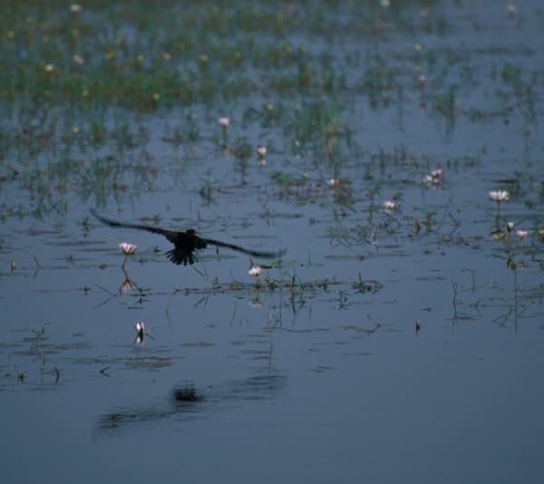 bird flying over lilies S4