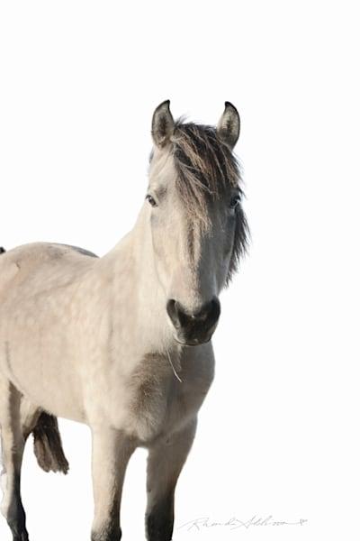 Buckskin Horse with white background Art