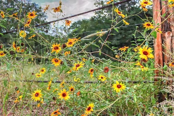 Wild Sunflowers: Contemporary Art | Lion's Gate Photography