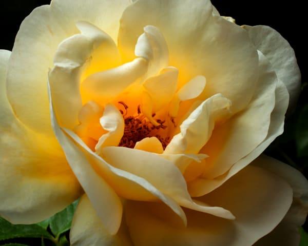 Yellow Rose Photography Art | Rick Gardner Photography