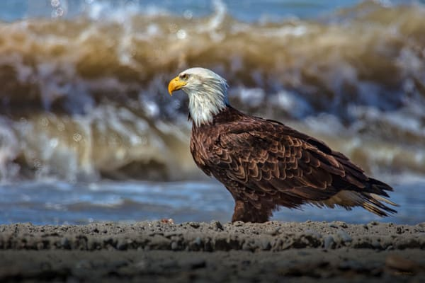 Crashing In   Bald Eagle On The Beach In Alaska 0408 Photography Art | Koral Martin Fine Art Photography