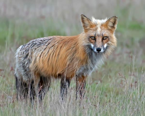 Dad Fox