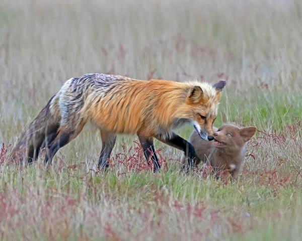 Foxes of San Juan Islands
