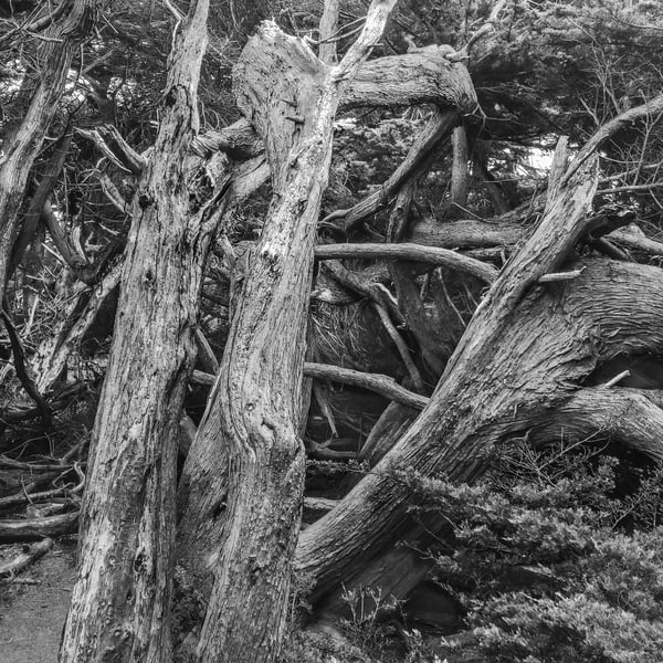 A weathered, multi-trunked Monterey Cypress twists skyward at the coast of Gualala Point, near the border of Mendocino and Sonoma Counties.