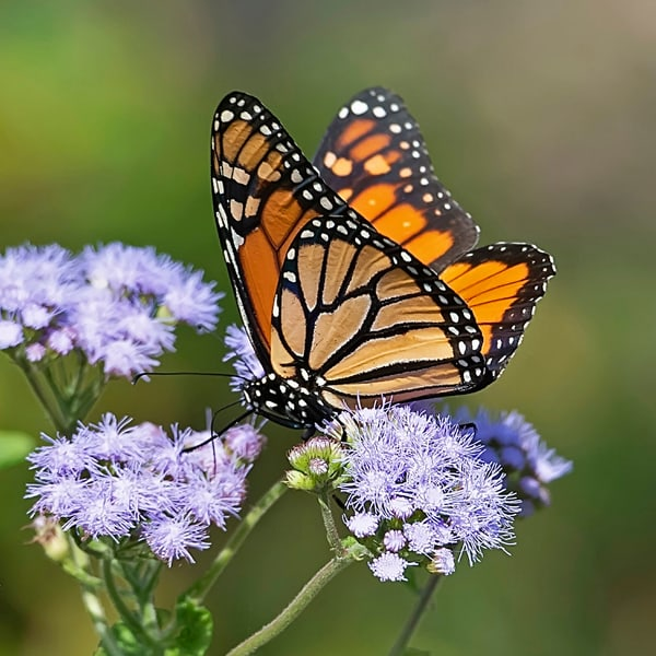 Lavender and Monarch
