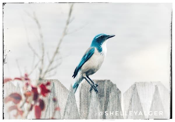 Blue jay scrub jay backyard fence