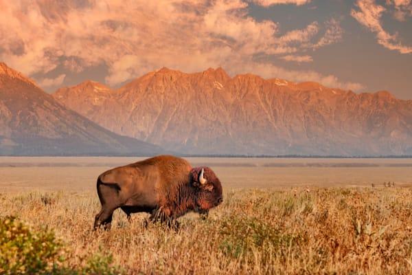 Bison In Antelope Flats Art | Light Pixie Studio