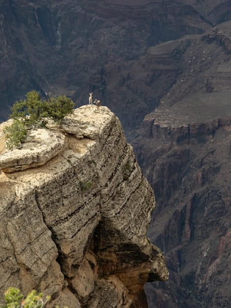 Bighorn Sheep – Grand Canyon Photography Art | Leiken Photography