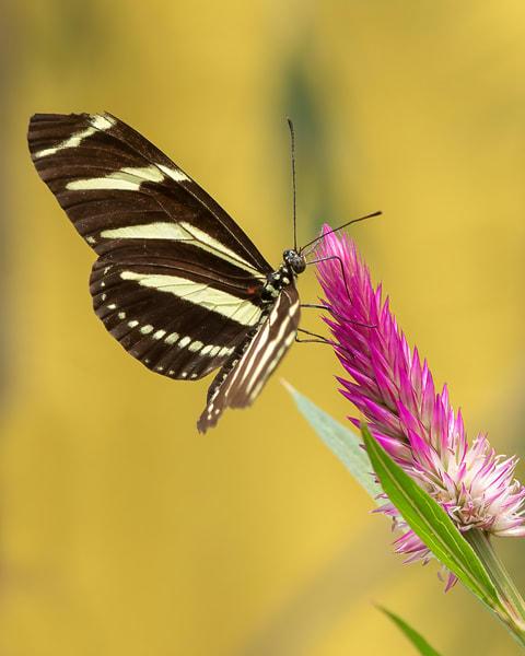 Zebra Longwing Butterfly Photography Art | Cuda Nature Art