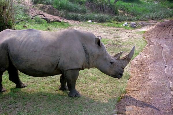 Rhinoceros  Photography Art   RAndrews Photos