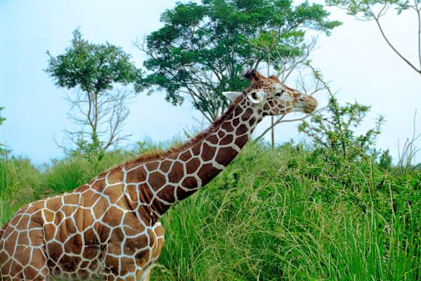 Giraffe Photography Art | RAndrews Photos