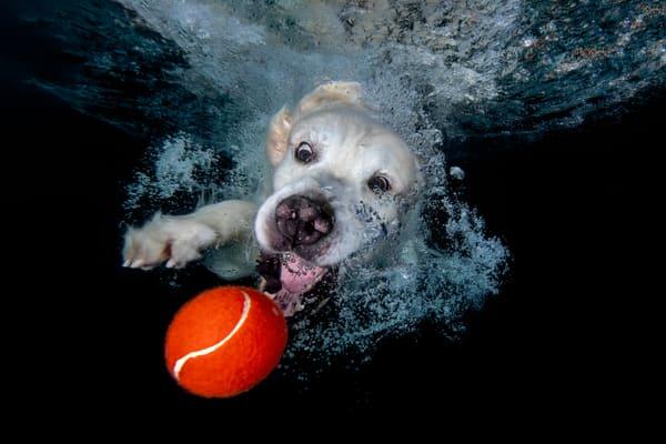 Golden Retriever Chasing Red Tennis Ball Underwater 83 A2423 Photography Art | Clemens Vanderwerf Photography