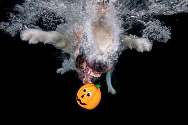 Golden Retriever Diving After Pumpkin 83 A8438 Photography Art | Clemens Vanderwerf Photography