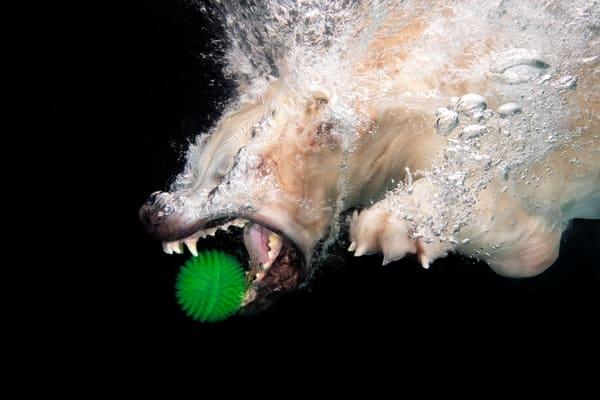 Golden Retriever Diving After Green Ball 83 A7656 Photography Art | Clemens Vanderwerf Photography