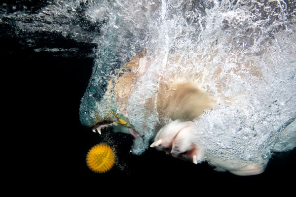 Golden Retriever Diving In For Orange Ball Side View 83 A7600 Photography Art | Clemens Vanderwerf Photography