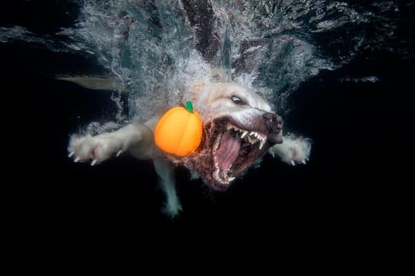 Golden Retriever With Orange Pumpkin Underwater 83 A9874 Photography Art | Clemens Vanderwerf Photography