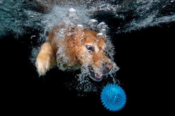 Golden Retriever Looking At Blue Ball Underwater 83 A8792 Photography Art | Clemens Vanderwerf Photography