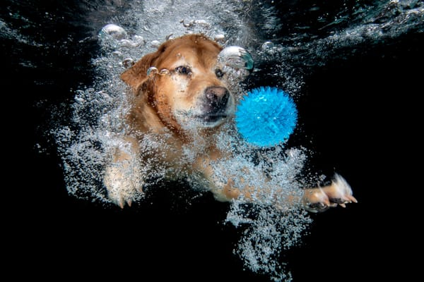 Golden Retriever Swimming With Blue Ball 83 A8734 Photography Art | Clemens Vanderwerf Photography