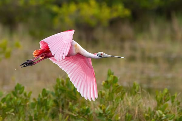 Roseate Spoonbill Flying Over A Wetland Photography Art | Cuda Nature Art