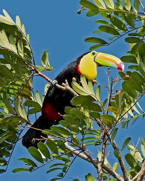 Keel Billed Toucan, Costa-Rica, janetogren