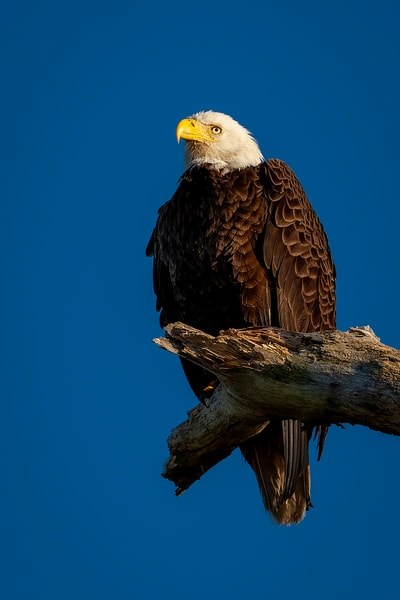 Bald Eagle Perch 2
