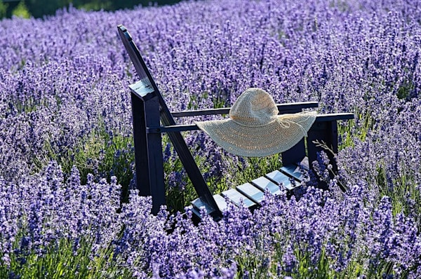 Purple Paradise   Lavender Fest In Holden Ma Photography Art | The Colors of Chatham