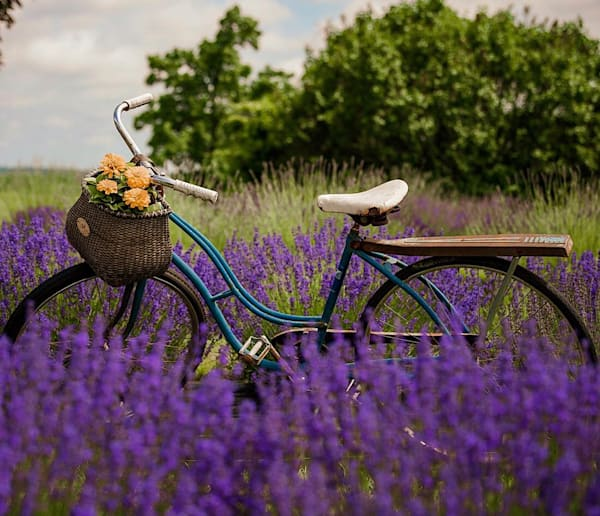 Purple Peace   Lavender Fest, Holden Ma Photography Art | The Colors of Chatham