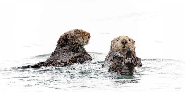 Spinning Time   Sea Otters 4004 High Key Art | Koral Martin Fine Art Photography