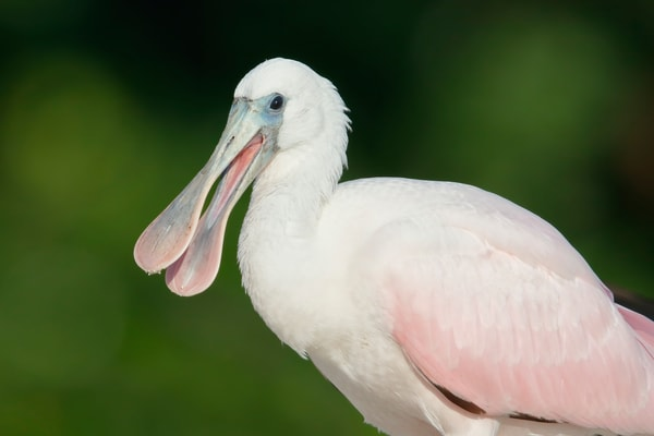Roseate Spoonbill Juvenile With Open Beak 44 A9655 Alafia Banks Gibsonton Fl Usa Photography Art   Clemens Vanderwerf Photography
