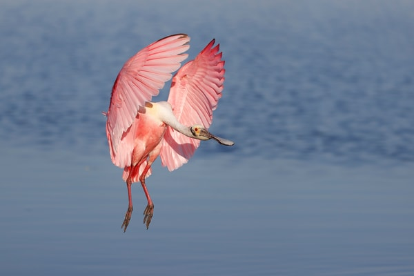 Roseate Spoonbill Coming In 74 I6765 Stick Marsh Fellsmere Florida Usa Photography Art   Clemens Vanderwerf Photography