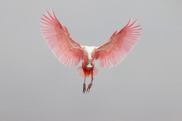 Roseate Spoonbill Coming In For Landing 74 I8038 Stick Marsh Fellsmere Florida Usa Photography Art   Clemens Vanderwerf Photography