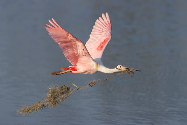 Roseate Spoonbill With Spanish Moss 74 I2667 Stick Marsh Fellsmere Florida Usa Photography Art   Clemens Vanderwerf Photography
