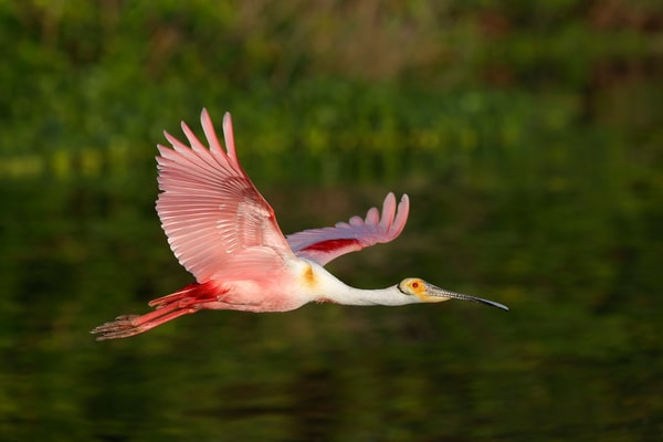 Roseate Spoonbill With Green Background 74 I4353 Stick Marsh Fellsmere Florida Usa Photography Art   Clemens Vanderwerf Photography
