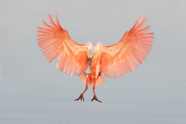 Roseate Spoonbill In Early Morning Light 74 I1486 Stick Marsh Fellsmere Florida Usa Photography Art   Clemens Vanderwerf Photography