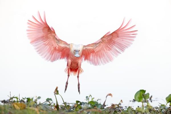 Roseate Spoonbill Landing Wings Up 74 I1394 Stick Marsh Fellsmere Florida Usa Photography Art | Clemens Vanderwerf Photography