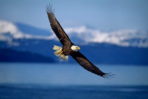 Bald Eagle soaring over coastal area.