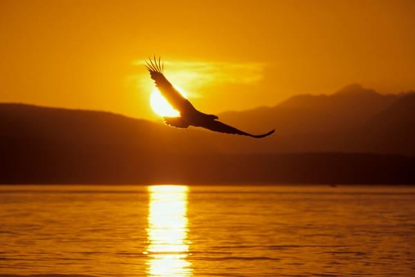 Bald Eagle flying against sunset.