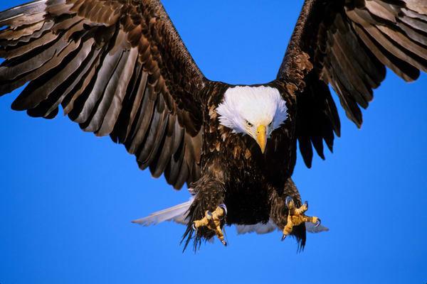Bald Eagle power.