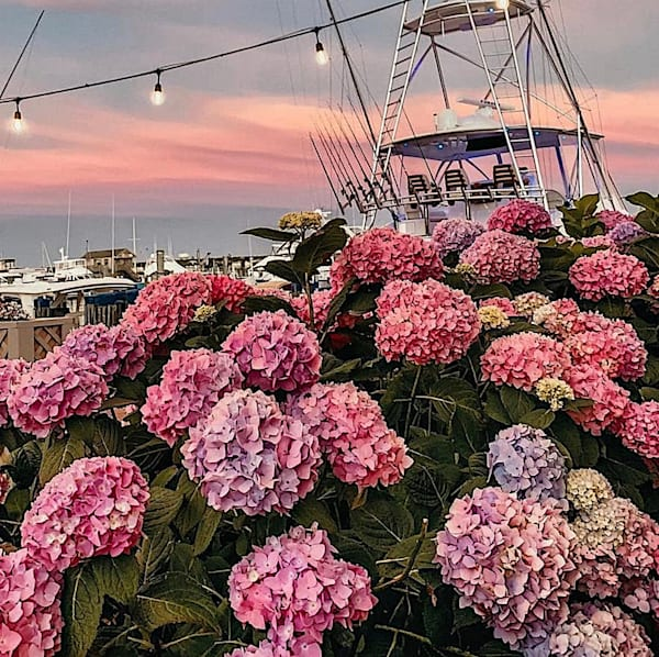 Hydrangeas On Nantucket Photography Art | The Colors of Chatham