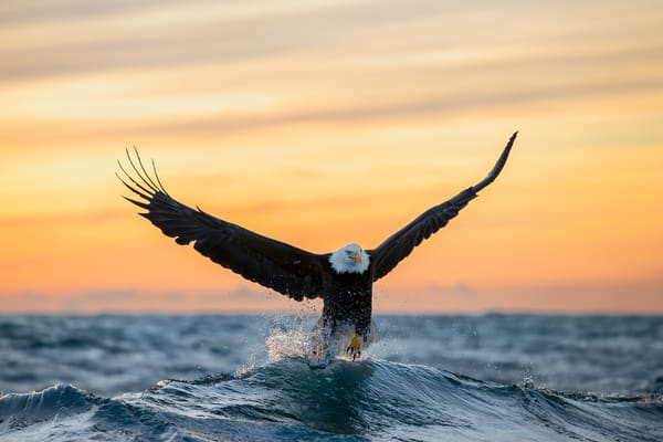 Bald Eagle Cresting Wave At Sunset95 I1193 Kachemak Bay Kenai Peninsula Ak Usa Photography Art | Clemens Vanderwerf Photography